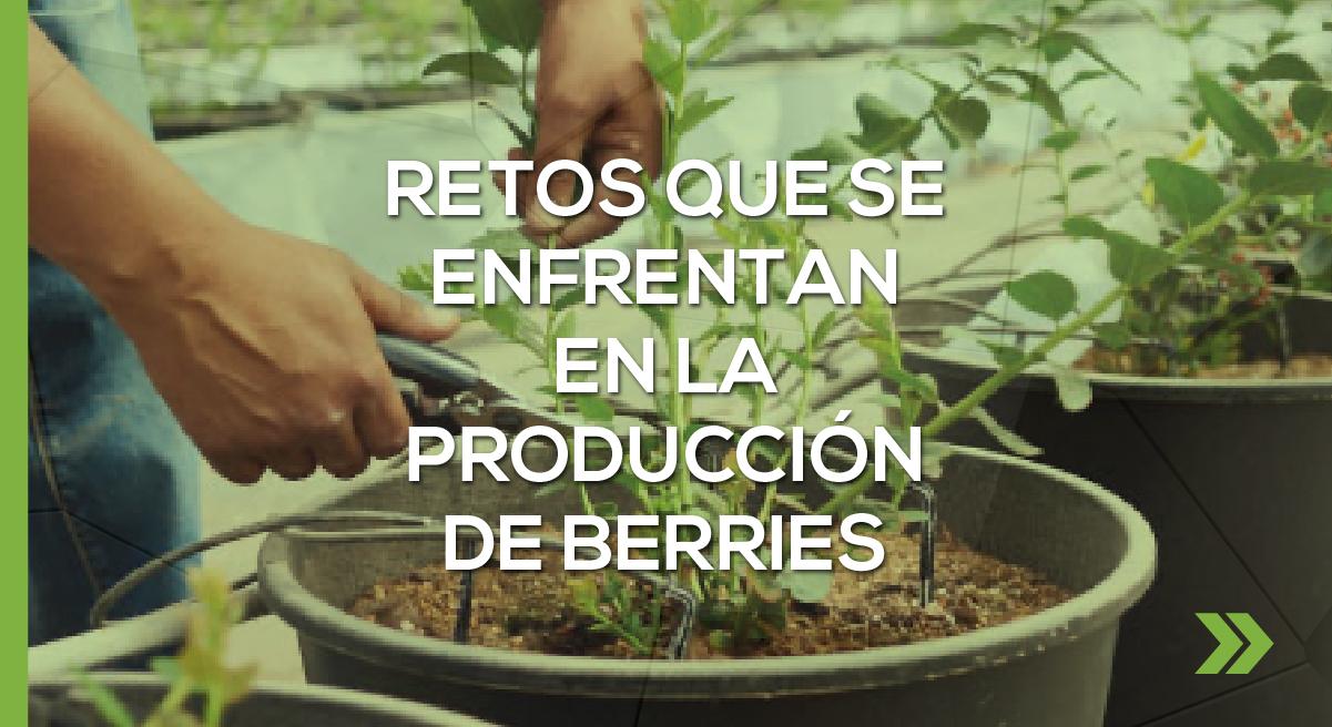 Retos que se enfrentan en la producción de berries