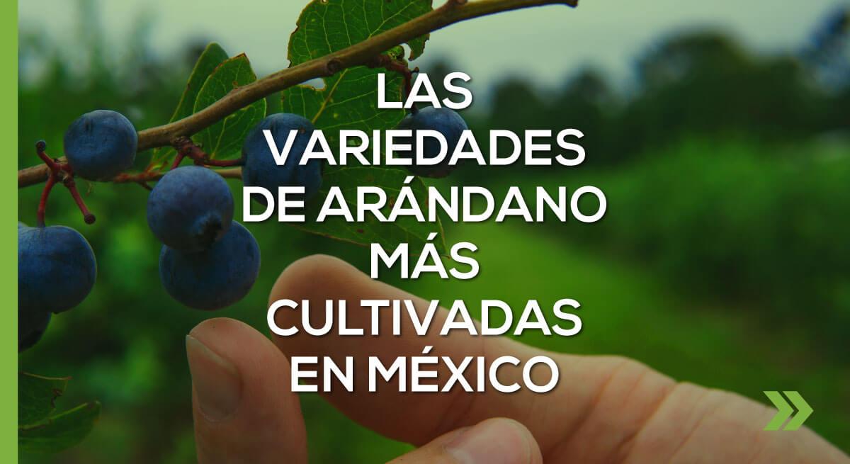 Las variedades de arándano más cultivadas en México