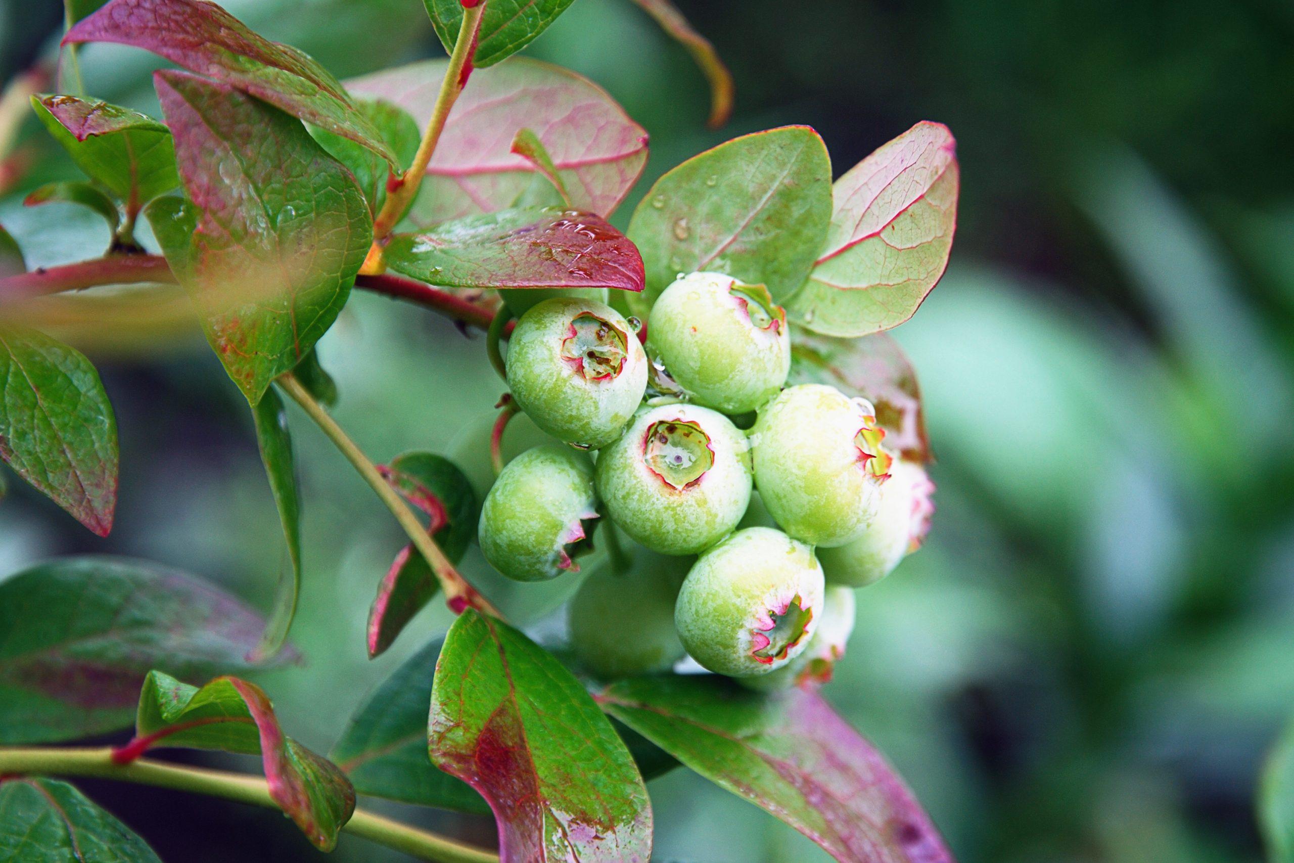 Planta de arándano Verde inmadura
