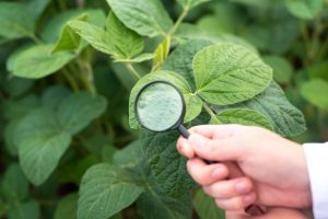 close-up-view-of-hands-holding-magnifying-glass-checking-soybean-leaf-1.jpg