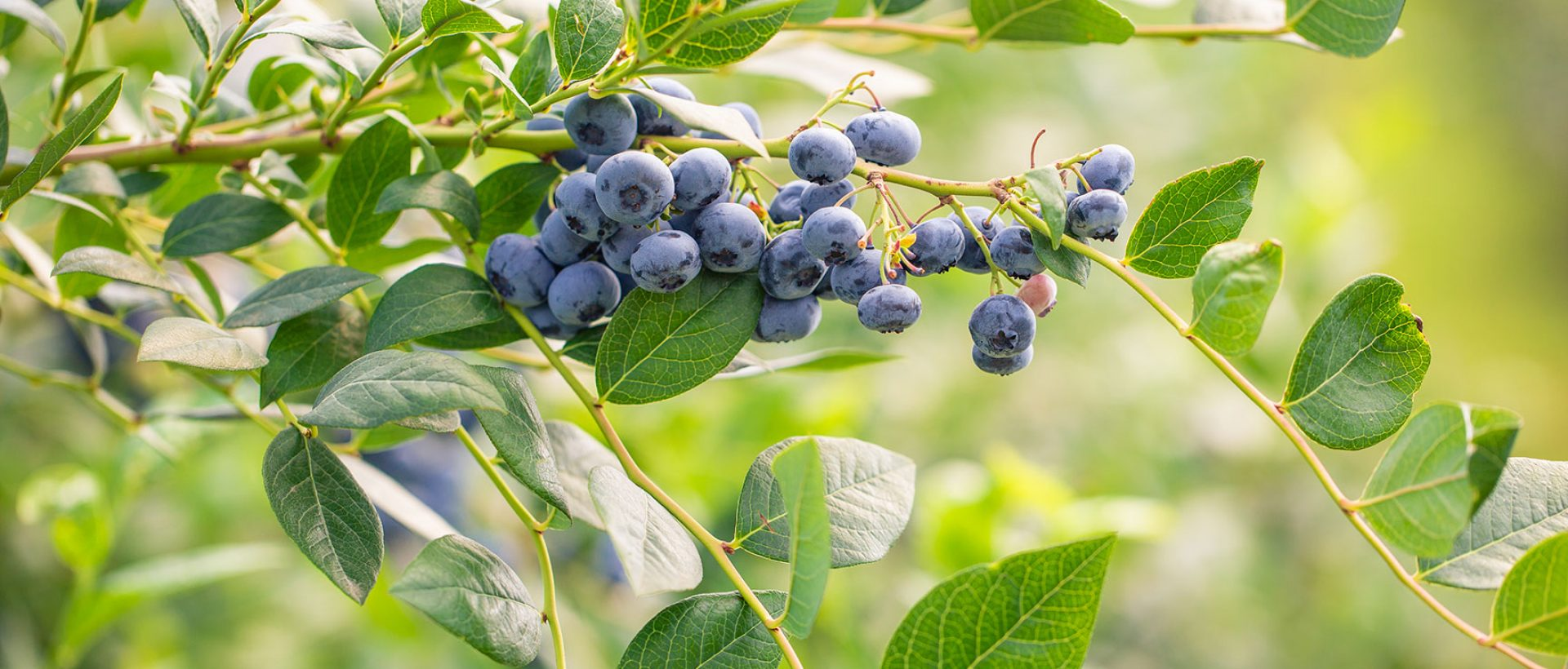 nxtagro-09abr21-berries3
